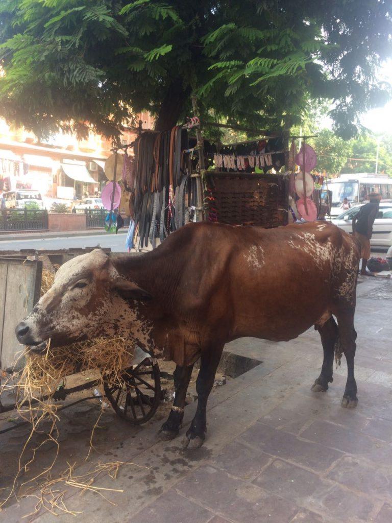 Hindistan'da inek neden kutsal bir hayvandır 20