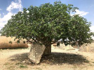 Baalbek'te bir incir ağacı tarihe meydan okuyor